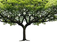 生机勃勃的大树图片素材