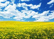蓝天白云下的油菜花图片