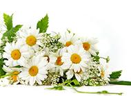 素凈優雅的白色野菊花圖片