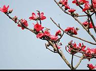 鲜艳的木棉花摄影图片