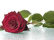沾满水滴的一枝红玫瑰花图片