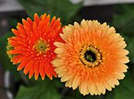 非洲菊唯美花卉高清圖片