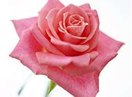 艳粉玫瑰图片精致好看