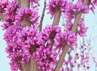 香港紫荊花圖片十分美麗