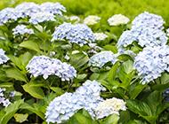 淡藍色繡球花圖片令人悅目怡神