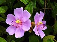 唯美清雅的紫色野牡丹图片