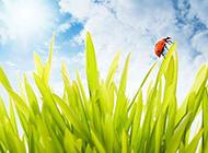七星瓢蟲戀上綠色植物圖片