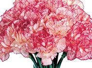 一束芬芳绽放的康乃馨图片