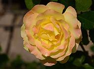 如詩如畫的黃色玫瑰圖片素材