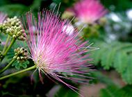 合欢花美丽外表高清图片