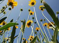 深秋獨放的野菊花圖片