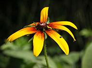 黃色野菊花微距攝影圖片