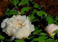雨后的白色牡丹花实拍图片