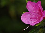 雨后的錦繡杜鵑花圖片欣賞