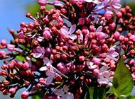 嬌嫩的丁香花唯美圖片