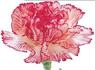素雅粉嫩的康乃馨花图片