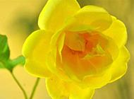 黃玫瑰花圖片精選黃色植物背景