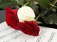 娇艳美丽的玫瑰花图片素材