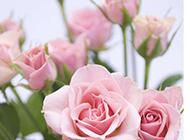绽放的粉玫瑰图片素材