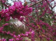 一串串美麗的紫荊花圖片