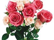 漂亮的玫瑰花高清图片素材