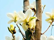 幽香遠溢的玉蘭花圖片