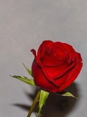 玫瑰花和水滴