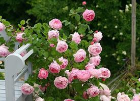 还在藤蔓上开的明媚嫣然的玫瑰花图片欣赏