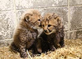 刚刚出生的2只豹宝宝,呆头呆脑的萌死了