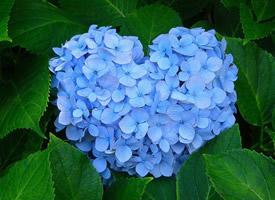 一組綠葉襯托出美美的純藍色繡球花圖片欣賞