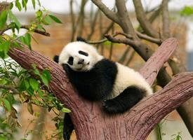 可爱搞怪又顽皮的小熊猫图片欣赏