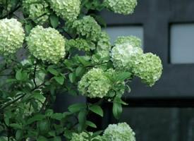 一組美眉的綠色繡球花圖片欣賞