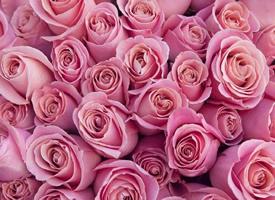 一组满满的玫瑰花图片欣赏