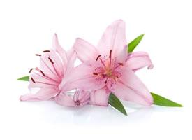 一組特別唯美的盛開的百合花特寫圖片