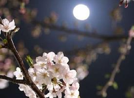 夜晚的樱花也特别美丽特别有意境感
