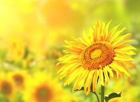 清新唯美向日葵風景圖片欣賞