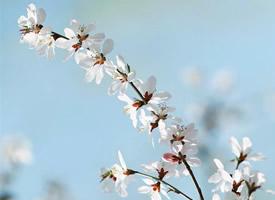 樱花树下的许愿,随着花瓣的飘落化为一片片思念
