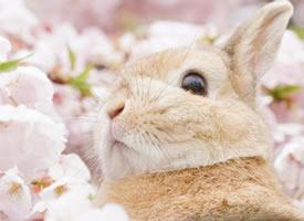 一组超好看的樱花旁的小兔子图片