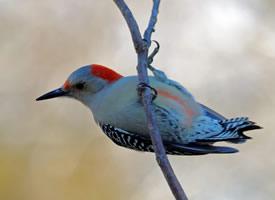 一组森林医生啄木鸟图片欣赏