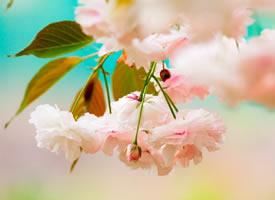 樱花花朵极其美丽,盛开时节,满树烂漫,如云似霞