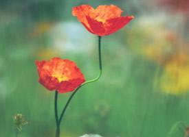愛似罌粟花、唯美卻有毒 盛開在彼岸的黑罌粟