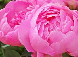 一組鮮艷的牡丹花高清圖片欣賞