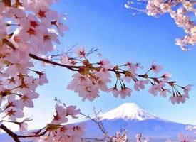 富士山下超唯美的粉色樱花图片欣赏