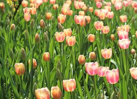 一組高清綻放的郁金香圖片欣賞