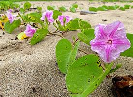 牽?;ㄩL著心形的葉子 開著喇叭形的花