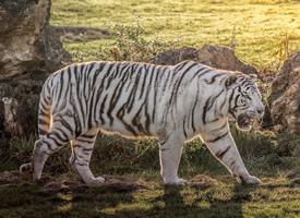 白色順滑的皮毛像是被水洗過一般充滿光澤的白虎