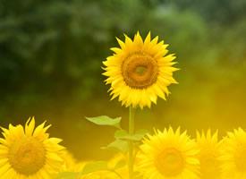 看著就有暖暖正能量的花朵-向日葵
