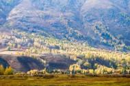 新疆禾木白桦林风景图片_11张