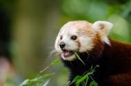 小熊猫图片_9张