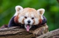 小熊貓圖片_7張